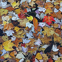 I recently explored the banks of a local reservoir near Southborough in Worcester County and found this beautiful accumulation of fallen leaves at the edge of the lake. It took a while to identify a pleasing pattern and composition where a couple of leaves stood out in color and size. I finally succeeded in compiling an Autumn Mosaic. <br /> <br /> Autumn Mosaic photography images are available as museum quality photography prints, canvas prints, acrylic prints or metal prints. Prints may be framed and matted to the individual liking and room decor needs:<br /> <br /> http://juergen-roth.pixels.com/featured/autumn-mosaic-juergen-roth.html<br /> <br /> Good light and happy photo making!<br /> <br /> My best,<br /> <br /> Juergen<br /> Licensing: http://www.rothgalleries.com<br /> Photo Prints: http://fineartamerica.com/profiles/juergen-roth.html<br /> Photo Blog: http://whereintheworldisjuergen.blogspot.com<br /> Instagram: https://www.instagram.com/rothgalleries<br /> Twitter: https://twitter.com/naturefineart<br /> Facebook: https://www.facebook.com/naturefineart