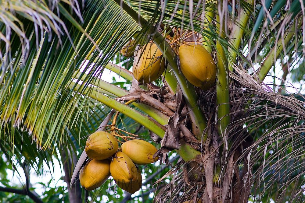 Coconuts growing on a palm tree at Thala Beach, Port Douglas, Australia
