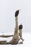 Bald Eagles (Haliaeetus leucocephalus) perched on tree stump during snow storm  on Chilkat River in Southeast Alaska. Winter. Afternoon.