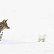 A coyote hunting during the depths of winter.