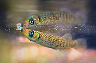 Russetfin Topminnow<br /> <br /> Isaac Szabo/Engbretson Underwater Photography