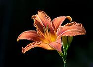 Hemerocallis, an orange day lily in dramatic evening light in a London garden.