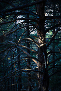 Pine tree in dark forest, Pyrenees Orientales, France