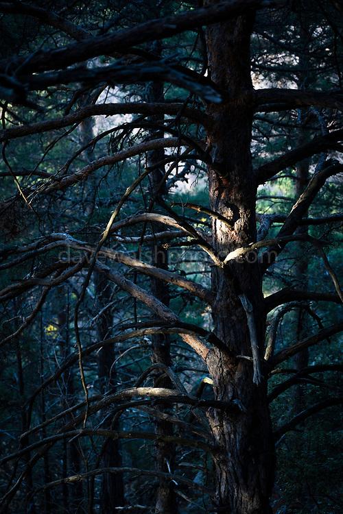 Pine tree in dark forest, Pyrenees Orientales, France