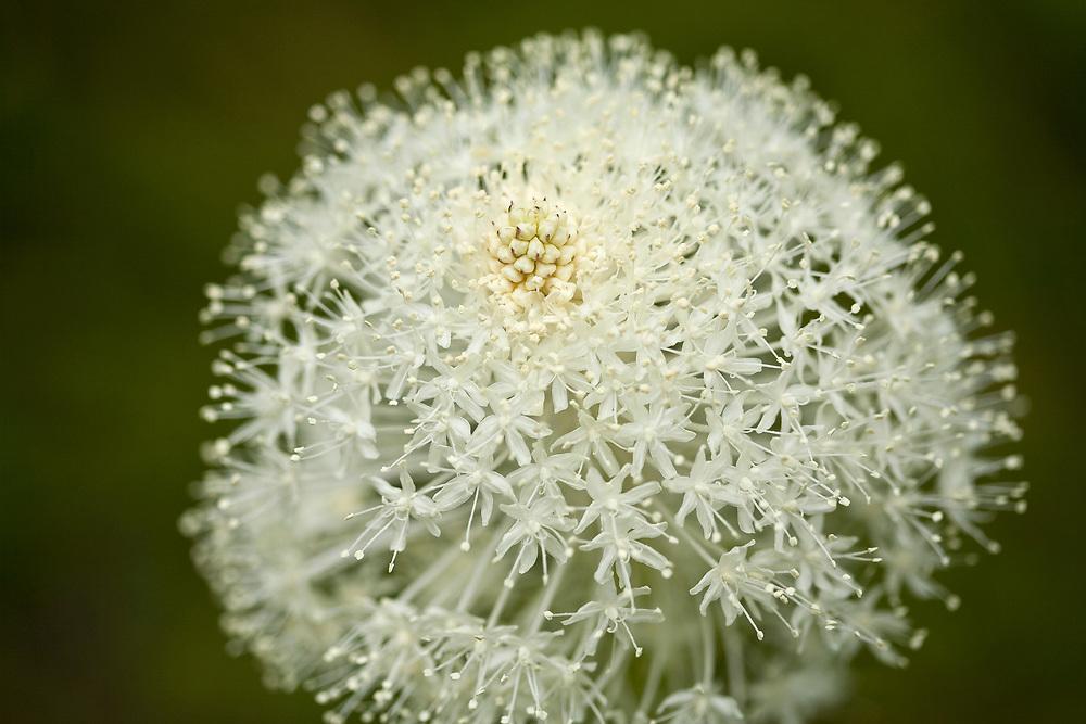 Beargrass flower detail - Xerophyllum tenax - growing on the Lost Trail Pass near Salmon Idaho near the Montana Border
