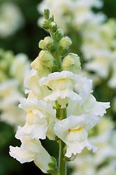 Antirrhinum F1 White - GIant White. Snapdragon