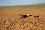 Long-legged buzzard (Buteo rufinus) in flight. This large bird of prey inhabits the dry open plains of northern Africa, southeastern Europe, west and central Asia east to China, and across central India. Photographed in Israel in January