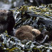 Sea Otter (Enhydra lutris) mother and sleeping baby in seaweed-covered rocks. Alaska