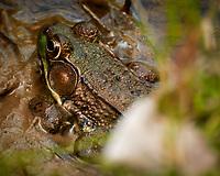 Kermit the Bullfrog. Image taken with a Nikon N1V3 camera and 70-300 mm VR lens (ISO 400, 300 mm, f/5.6, 1/320 sec)