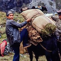 Sherpa yak herders loading hay for winder fodder, Khumbu, Nepal