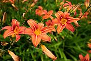 Maidenhead, Berkshire UK, 29th June 2021, Red Flowers , Maidenhead  © Pete Spurrier,