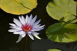 Water Lily, Purple #20