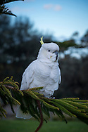 In the town of Lorne, on Australia's Great Ocean Road in Victoria, a cockatoo perches in a tree in a city park.