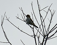 House Finch. Image taken with a Nikon D3s camera and 600 mm f/4 VR lens with a 2.0x TCE-II teleconverter