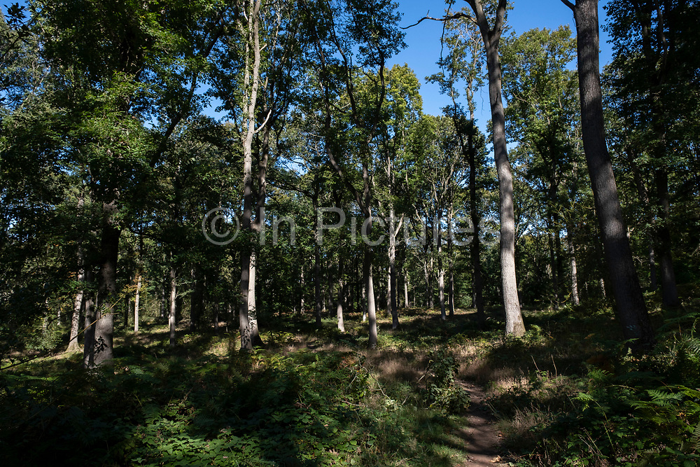 Ancient woodland trees which are part of the National Nature Reserve of the Wyre Forest on 27th September 2020 near Callow Hill, United Kingdom. Although now the Wyre Forest has been much deforested, it is one of the largest remaining ancient lowland coppice oak woodlands in Britain.