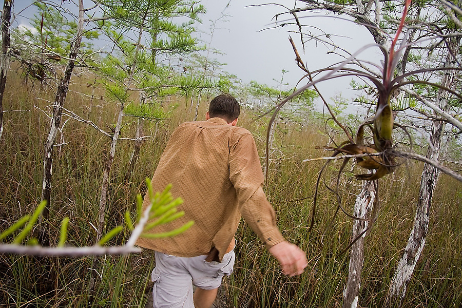Everglades specialist guide Garl Harrold hikes through prairie grasses to an alligator hole in Everglades National Park, Florida. A Northern needleleaf (Tillandsia balbisiana) bromeliad hangs from a tree branch in the foreground.