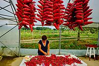 France, Pyrénées-Atlantiques (64), Pays Basque, Espelette, piment d'Espelette AOP, exploitation de Maritxu et Ramuntcho LECUONA // France, Pyrénées-Atlantiques (64), Basque Country, Espelette, Espelette peppers