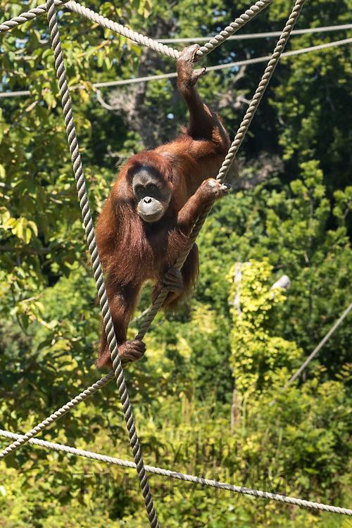 Sumatran Orangutan, Pongo abelii, at Jersey Zoo - Durrell Wildlife Conservation Trust, Channel Isles