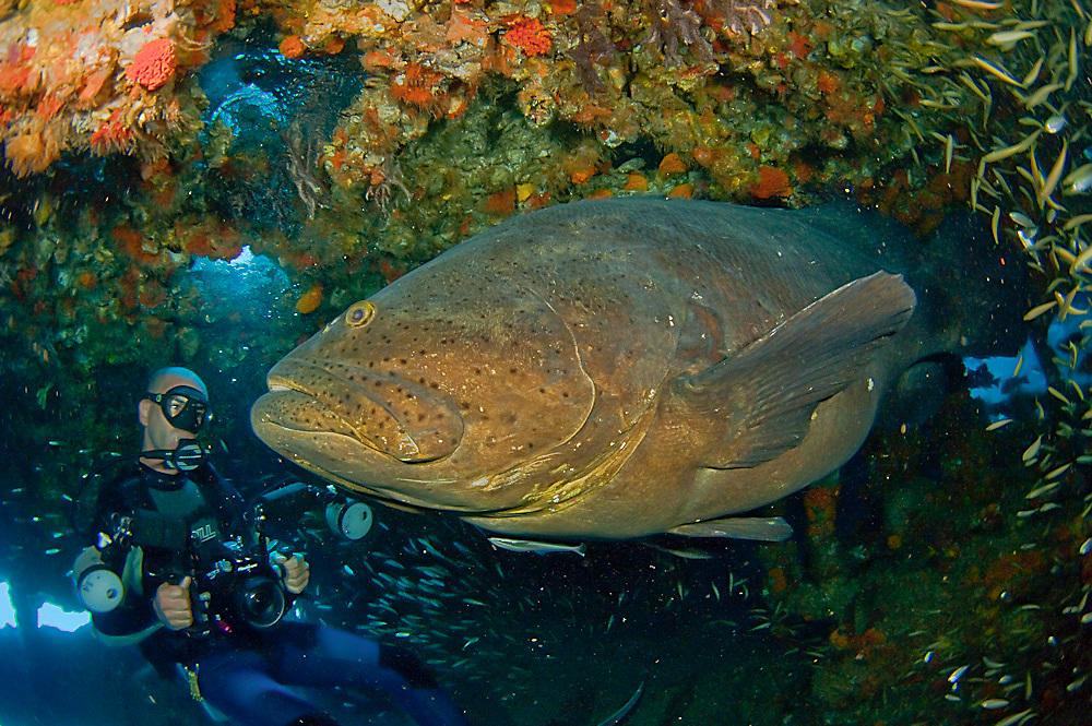 Goliath Grouper, Epinephelus itajara, and Scuba Diver on the shipwreck Mispah, Singer Island, Florida, United States.