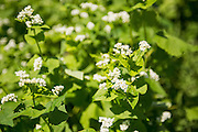 Buckwheat is used in crop rotation with corn because of it's ability to fix nitrogen to the soil. Corn is a heavy feeder on nitrogen.