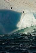 Adelie penguins standing on a iceberg. One penguin looks over the edge of the iceberg.