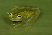 La Palma Glass Frog, Hyalinobatrachium valerioi, sitting on leaf, Guayacan, Provincia de Limon, Costa Rica, Amphibian Research Center, tropical jungle, South America.Central America....