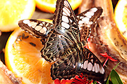 Two Brown Clipper Butterflies (parthenos sylvia) feeding off a slice of orange