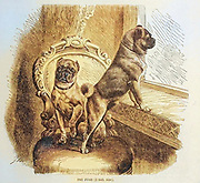 Pet Pugs From the book ' Royal Natural History ' Volume 1 Section II Edited by  Richard Lydekker, Published in London by Frederick Warne & Co in 1893-1894