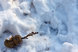 12 February 2010: a nut sprouts a seedling as the snow melts around it.  the site of the new life of spring is becoming apparent.  The Prairielands, Northern McLean County, Illinois