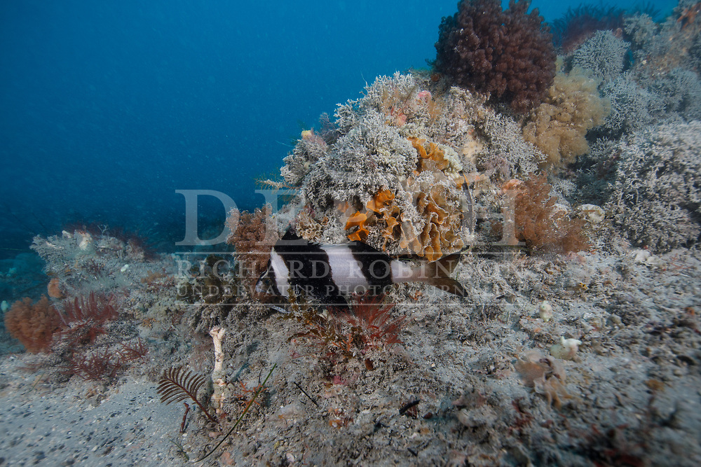 Magpie Perch (Cheilodactylus nigripes) amongst Sponge and Ascidians colonies at Kangaroo Island in the Great Australian Bight during the Greenpeace, Making Oil History Rainbow Warrior Tour.<br /> !!! Editorial Use Only!!!<br /> Thursday 29 November 2018<br /> Photograph Richard Robinson © 2018<br /> No Reproduction without prior written permission.<br /> Dive Number: 944<br /> Time: 13:58<br /> Dive Site: Sponge Garden, The Bird, Kangaroo Island, Australia.<br /> Boat: The Rainbow Warrior<br /> Temperature: 17 Degrees<br /> Maximum Depth: 27 meters<br /> Bottom Time: 66 Minutes<br /> Bottom Time to Date: 52,900 Minutes<br /> Cumulative Time: 52,966 Minutes.