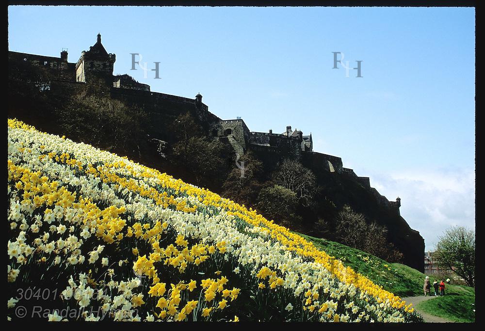 Daffodils carpet hills of Princes Street Gardens below Edinburgh Castle on April morn; Edinburgh. Scotland