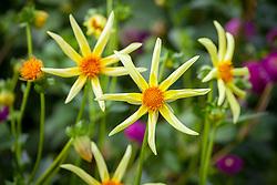 Dahlia 'Honka' syn. 'Honka Yellow'