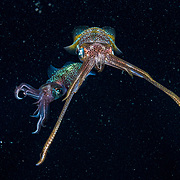 Two Caribbean reef squid (Sepioteuthis sepioidea) in the night ocean filled with plankton in The Bahamas
