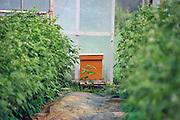Bijenkast in de kas van een frambozenteler..  bevruchting, bevruchten, landbouw, fruitproductie.Foto: Flip Franssen/Hollandse Hoogte