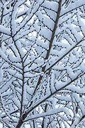 A few inches of snow rest on the branches of an elm tree in Snohomish County, Washington.