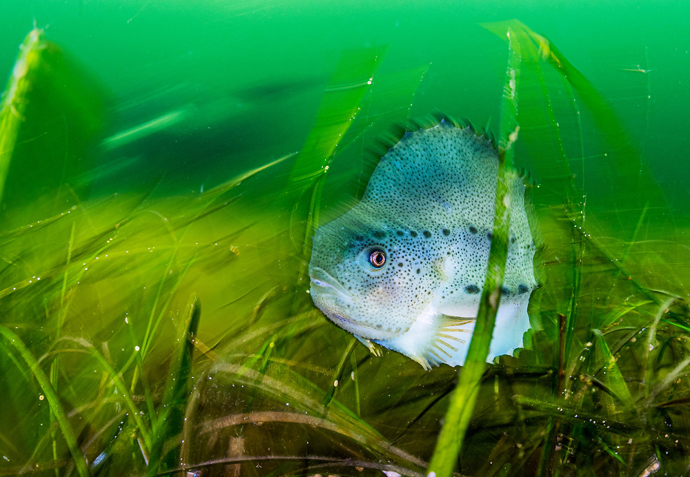 A lumpfish (Cyclopterus lumpus) hiding in seagrass (Zostera marina) in Terra Nova National Park, Newfoundland, Canada. Lumpfish are hunted for the eggs and are Vulnerable to extinction.