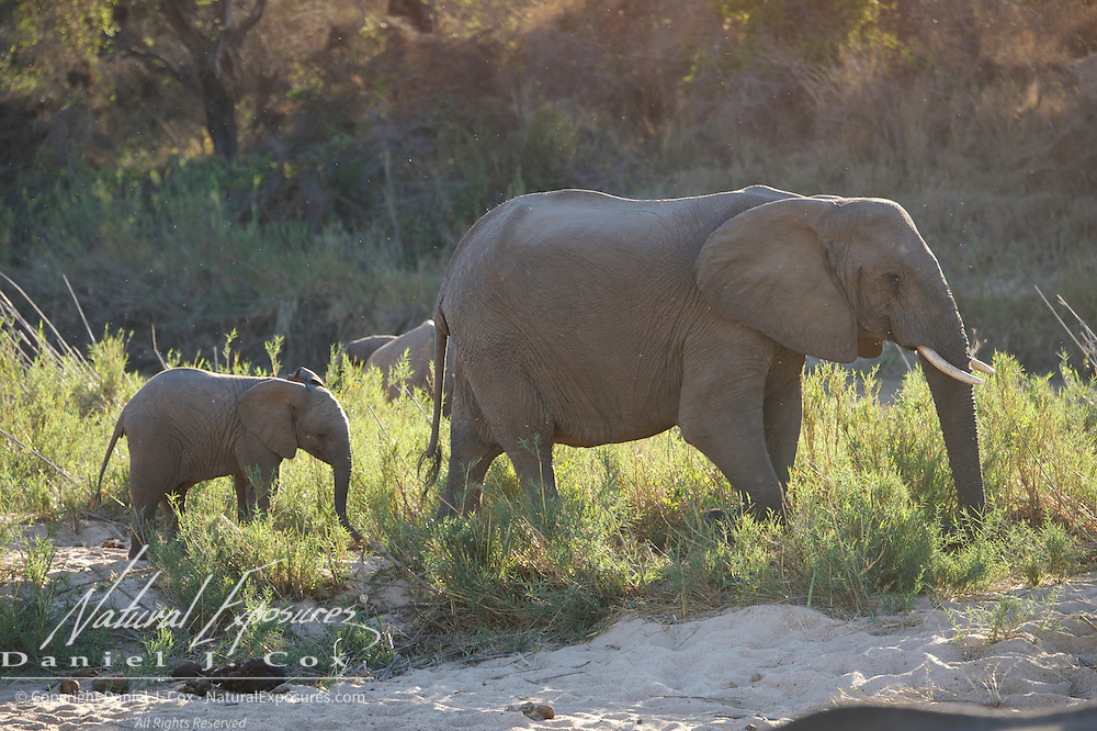 African elephant, mother with calf, Malamala Gam Reserve, South Africa.