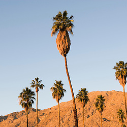 Palm trees and the San Jacinto Mountains in Palm Springs California USA