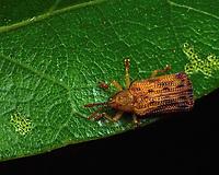 Baliosus nervosus - Basswood Leaf Miner. Photographed on a water oak in Lady Lake, FL USA.