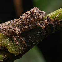 Larut Bush Frog (Philautus larutensis), male. Mulu National Park, Sarawak, Malaysia (Borneo).