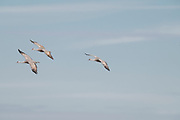 Photograph of Sandhill Cranes flying from Whitwewater Draw Wildlife Area, AZ
