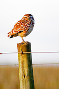 An owl Burrowing Owl, Speotyto cunicularia sitting on a wooden pole in the vineyard at sunset. The owl is blinking and looks as if it is asleep. Vinedos y Bodega Filgueira Winery, Cuchilla Verde, Canelones, Montevideo, Uruguay, South America