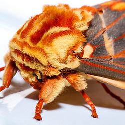 """""""Mariposa-caveira (Citheronia brissotii) fotografado em Linhares, Espírito Santo -  Sudeste do Brasil. Bioma Mata Atlântica. Registro feito em 2013.<br /> <br /> <br /> <br /> ENGLISH: Moth of the Skull photographed in Linhares, Espírito Santo - Southeast of Brazil. Atlantic Forest Biome. Picture made in 2013."""""""