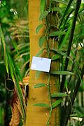 Vanilla planifolia plant in The Palm House, Royal Botanic Gardens, Kew, London, England, UK