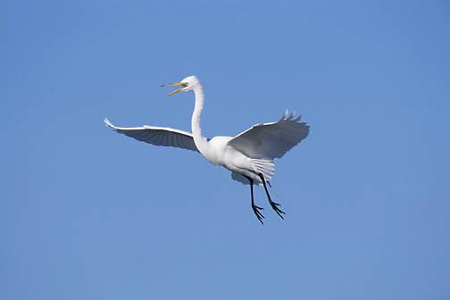 Great Egret (Casmerodius albus) in flight in Florida.