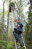 Peter Cairns climbing ladder to hide to photograph Great grey owl (strix nebulosa) in boreal forest, Oulu, Finland.