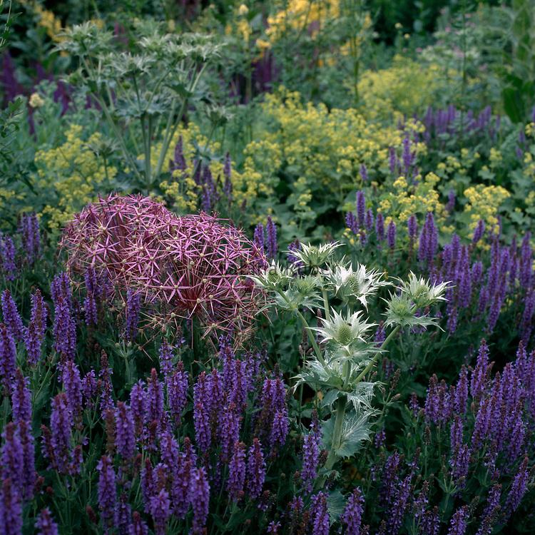 Salvia 'East Friesland', Allium christophii, Eryngium 'Miss Willmott's Ghost' and Alchemilla mollis. The Barn Garden, Tom Stuart-Smith's garden in Hertfordshire