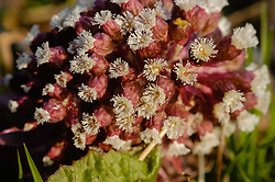Groot hoefblad vrouwelijke bloem, Petasites hybridus