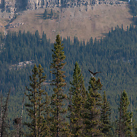An osprey (Pandion haliaetus) lands in a tree in Banff National Park, Alberta, Canada.