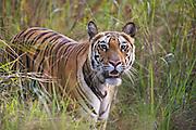 A wild Indian bengal tiger (Panthera tigris tigris)  hunting in the wild,Bandhavgarh,Madhya Pradesh,India